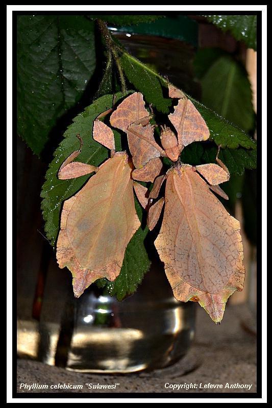 Phyllium celebicum Sulawesi (psg ???) Phylli11