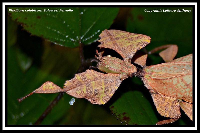 Phyllium celebicum Sulawesi (psg ???) Phylli15
