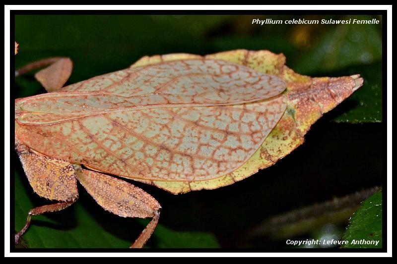 Phyllium celebicum Sulawesi (psg ???) Phylli16