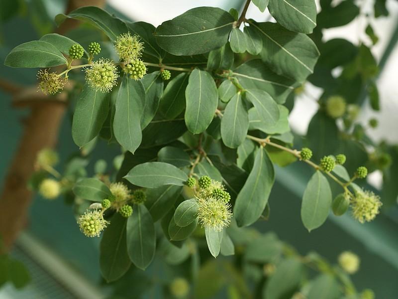 Identification d'arbre Acacia10