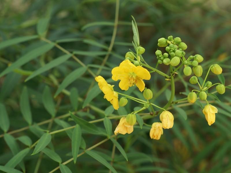 Senna - demande d'identification, Senna occidentalis Dsc08310