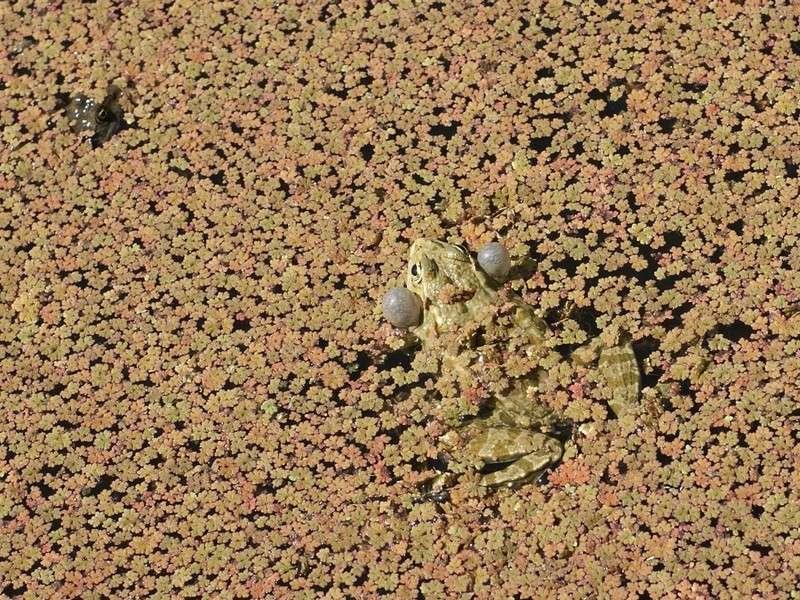 Grenouille verte dans une forêt d'Azzola sp. ? Peloph10
