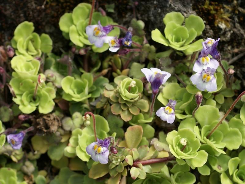 Saxifraga cuneifolia + Cymbalaria muralis en mélange Saxifr10