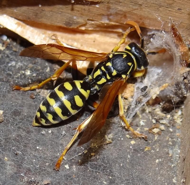 Polistes hôtel à insectes Dsc03011