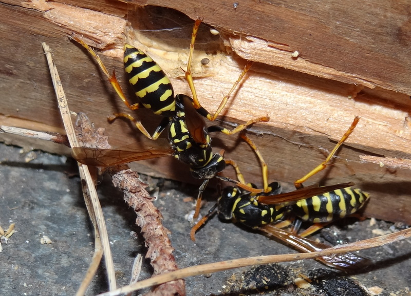 Polistes hôtel à insectes Dsc03013