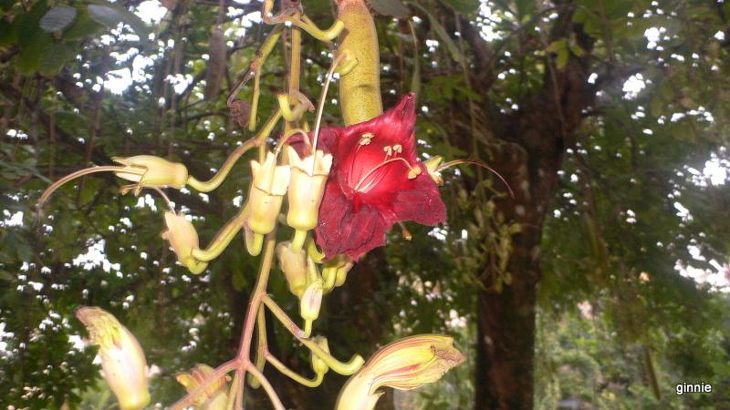 Flore de la République Dominicaine à identifier 016-p110