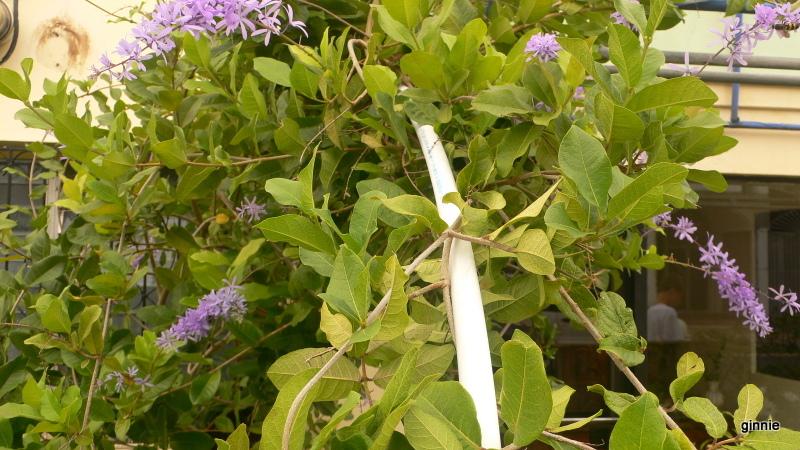 Flore de la République Dominicaine à identifier 022-p110