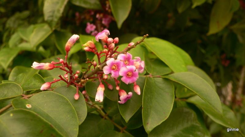 Flore de la République Dominicaine à identifier 030-p110