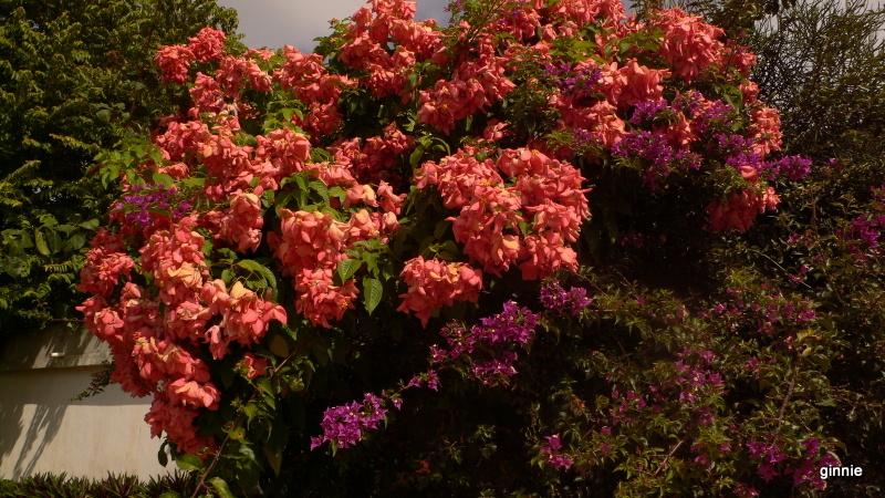 Flore de la République Dominicaine à identifier 049-p110