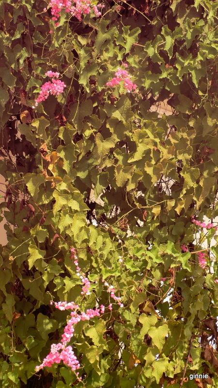 Flore de la République Dominicaine à identifier 050-p111