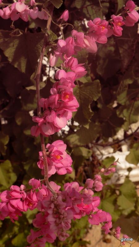 Flore de la République Dominicaine à identifier 051-p110