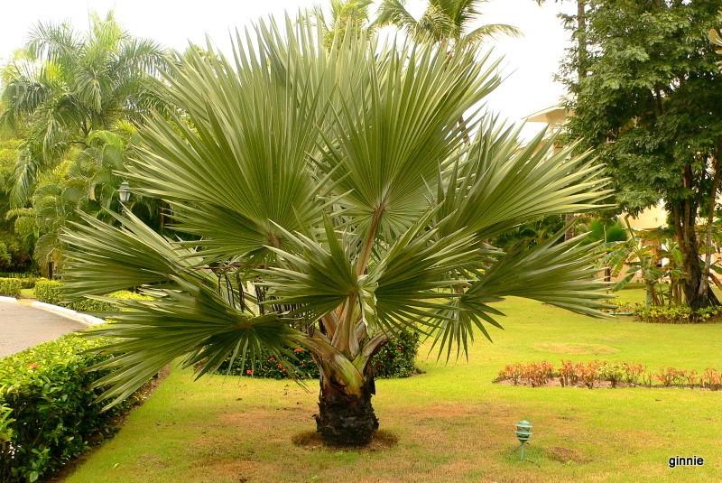Flore de la République Dominicaine à identifier 088-p110