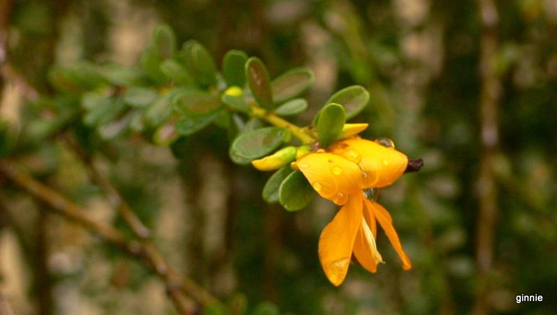 Flore de la République Dominicaine à identifier 098-p110