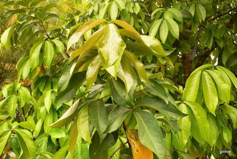 Flore de la République Dominicaine à identifier 105-p110
