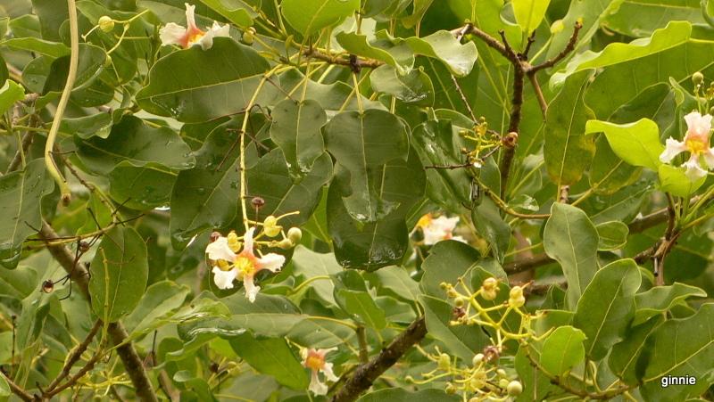 Flore de la République Dominicaine à identifier 110-p110