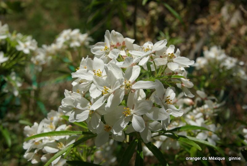 Plantes parfumées du moment - Page 4 Imgp6339