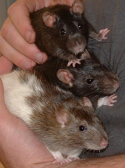 Nos fidèles compagnons en photos - Page 2 Rat10