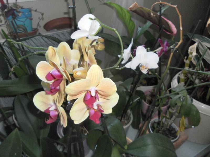 orchidées Sam_0517