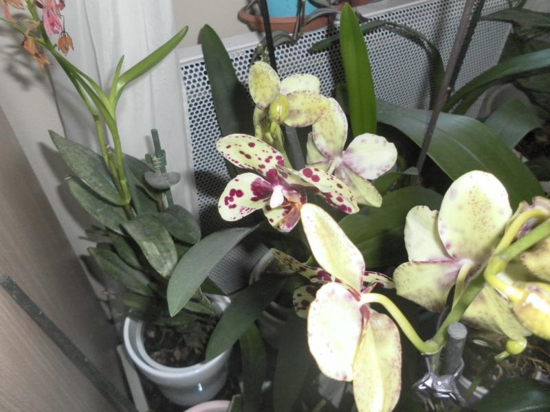 orchidées Sam_0518