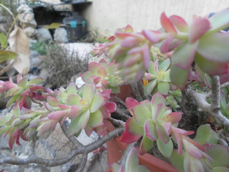 bientot des fleuraisons Sam_0823