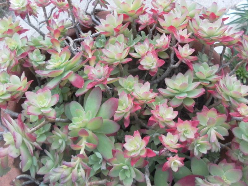 bientot des fleuraisons Sam_0825