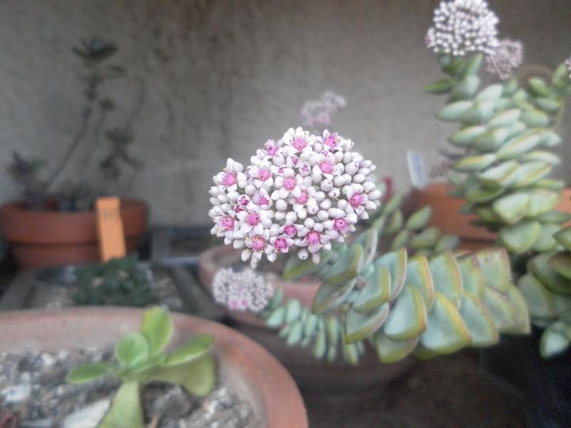 bientot des fleuraisons Sam_0826