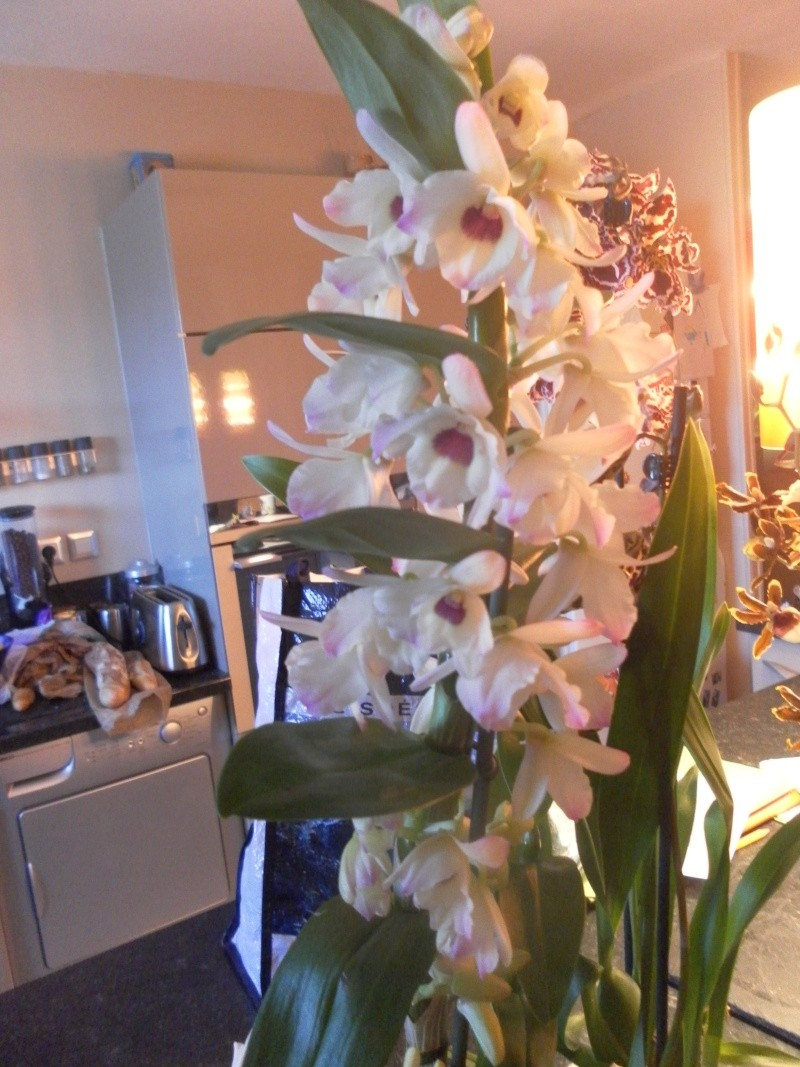 orchidées Sam_1018