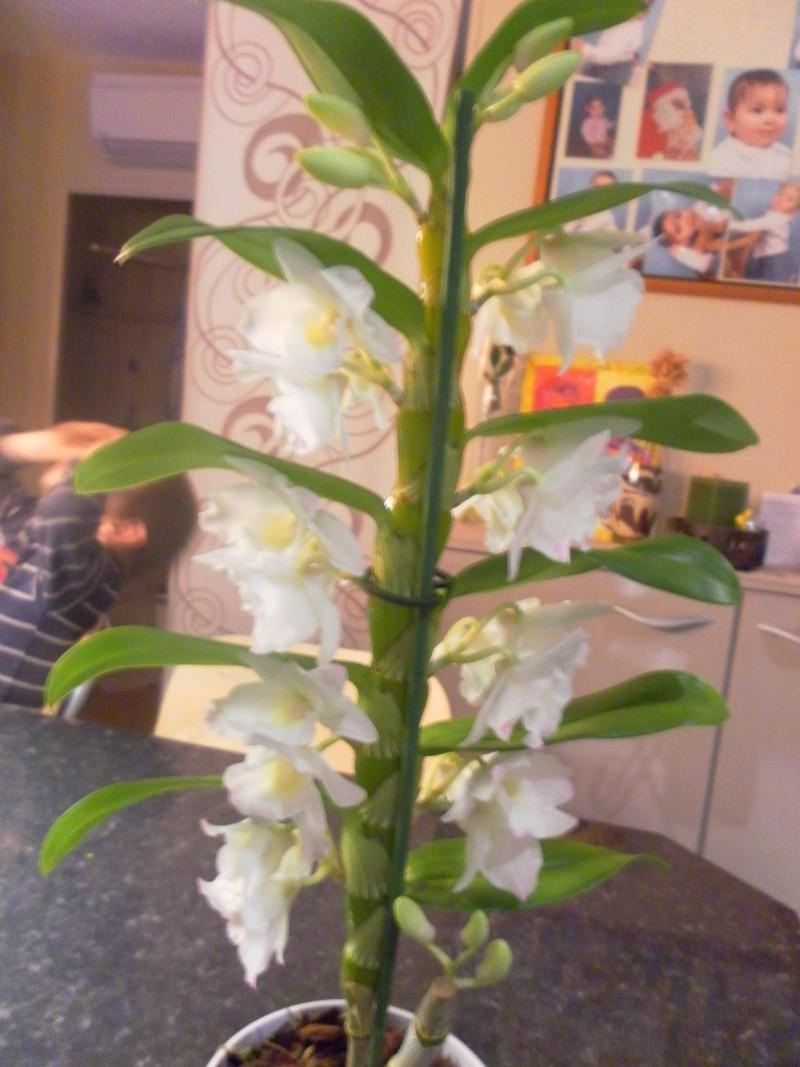 orchidées Sam_5311