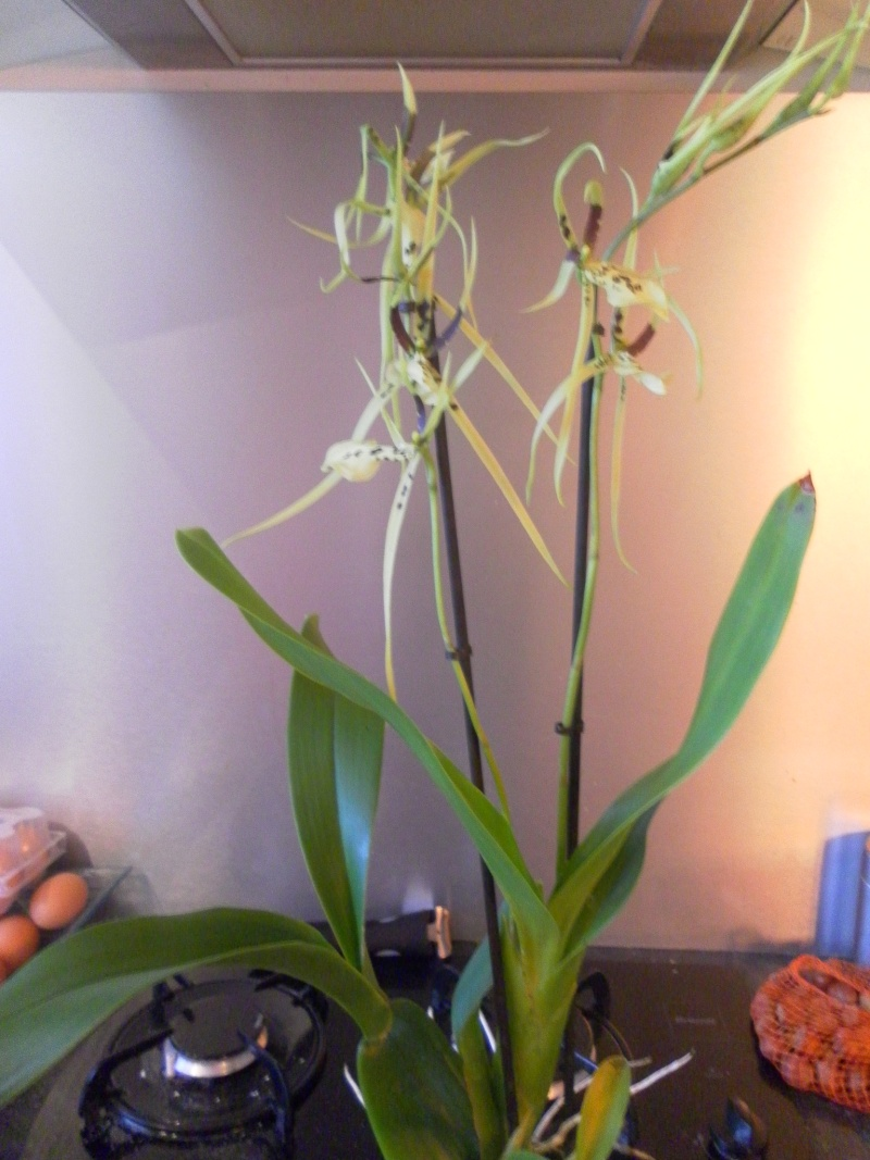 orchidées Sam_8810