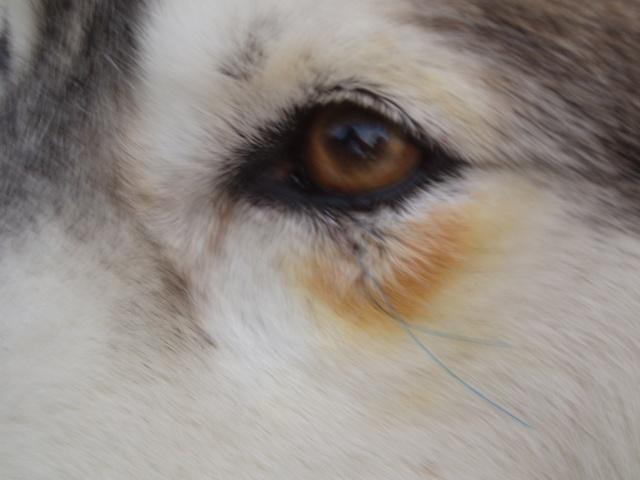 Operation de l'oeil Vania ( verrue paupiere ) P4129210