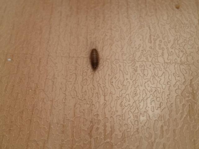 envahie de petits insectes marrons fonc s. Black Bedroom Furniture Sets. Home Design Ideas