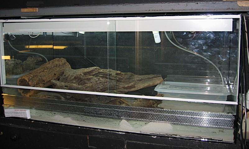 Gecko léopard (eublepharis macularis) 018_te10