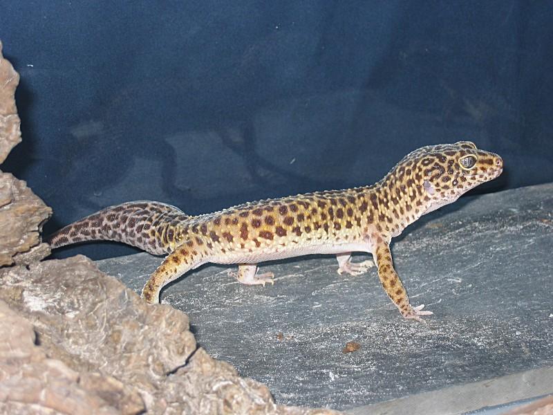 Gecko léopard (eublepharis macularis) 17au_210