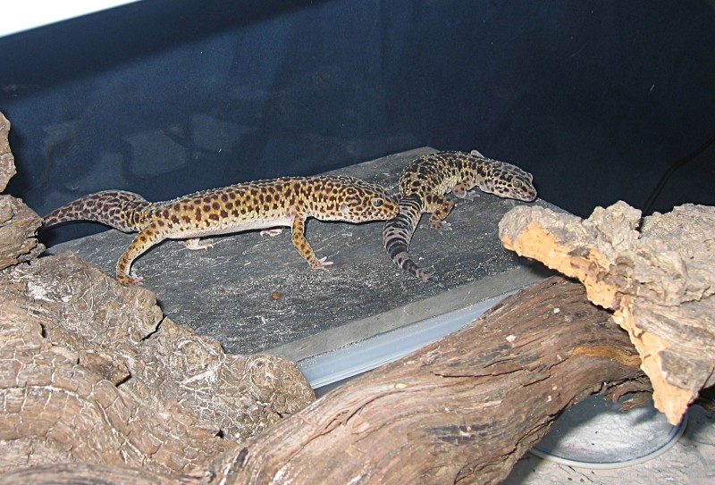 Gecko léopard (eublepharis macularis) 17au_211