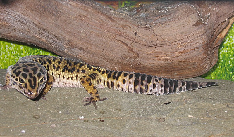 Gecko léopard (eublepharis macularis) Terrar10