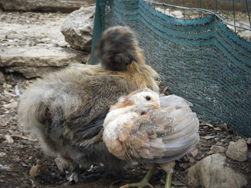 poule - EVOLUTION D'UN PIOU ARAUCANA NE SOUS POULE - Page 2 Doigt11
