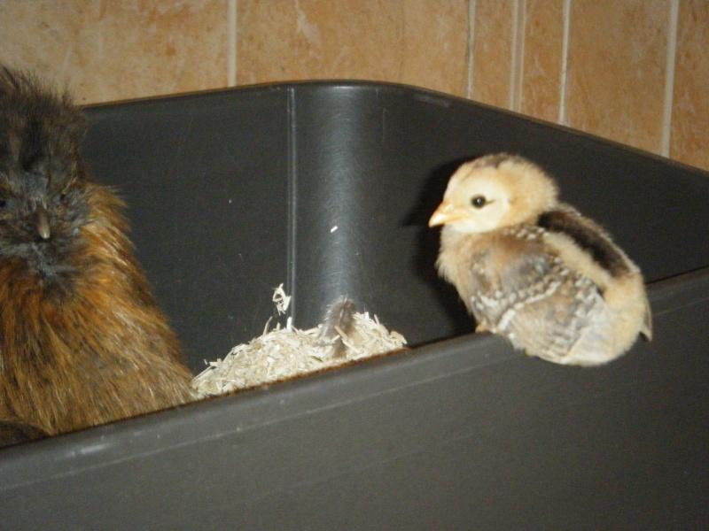 poule - EVOLUTION D'UN PIOU ARAUCANA NE SOUS POULE Geroni39