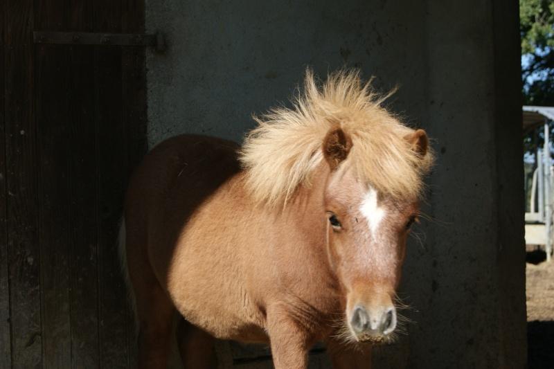 a réserver poney shetland Dsc01610