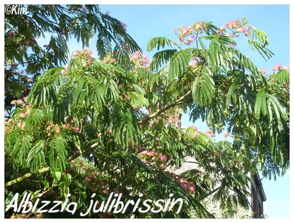 Albizzia julibrissin ( Fiche ) Albizz10