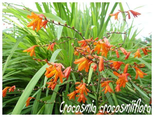 Crocosmia crocosmiiflora ( Fiche ) Crocos10