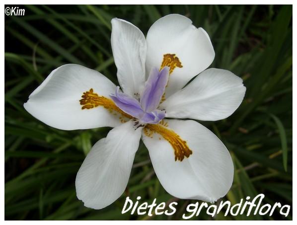 Dietes grandiflora ( Fiche ) Dietes10