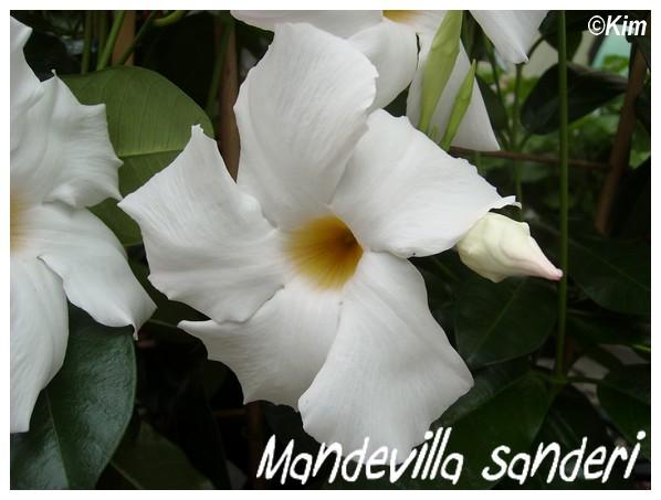 Mandevilla Sanderi ( Fiche ) Mandev12