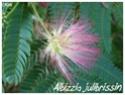 Albizzia julibrissin ( Fiche ) Albizz11