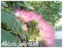 Albizzia julibrissin ( Fiche ) Albizz12