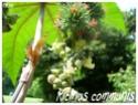 Ricinus communis ( Fiche ) Ricinu11
