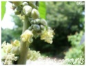 Ricinus communis ( Fiche ) Ricinu12