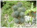 Ricinus communis ( Fiche ) Ricinu13