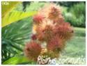 Ricinus communis ( Fiche ) Ricinu14