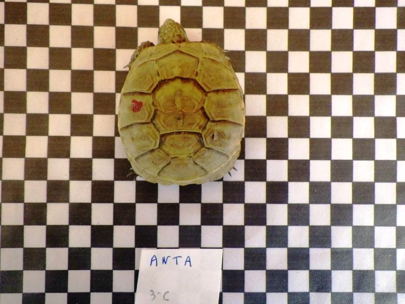identification antakyensis ? Imgp1913
