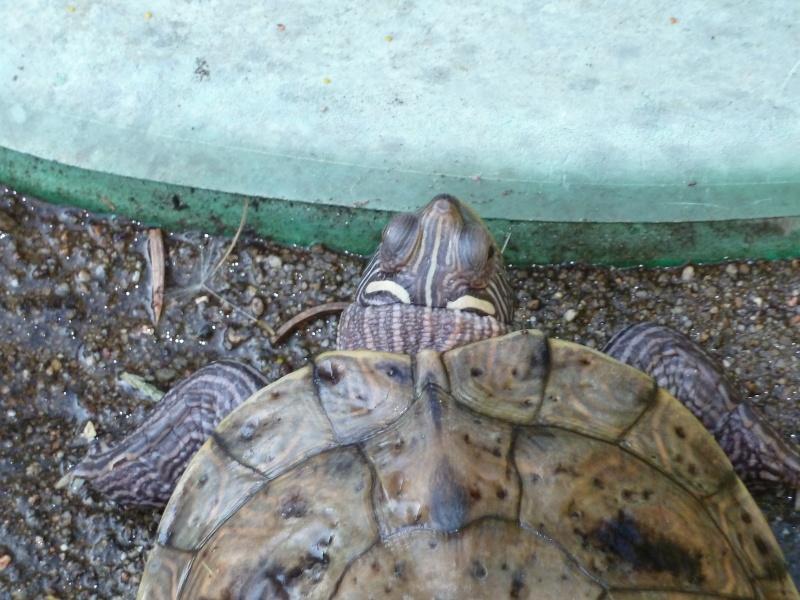 identification de tortues aquatiques pour une amie Tortue10